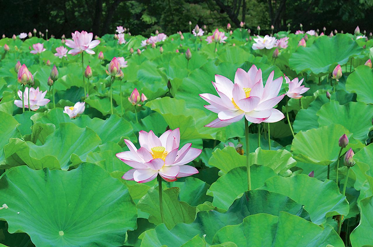 耻風の蓮の花(南会津、南会津町) - 花の王国ふくしま